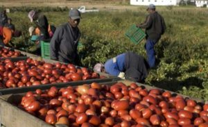 Immigrati impegnati in agricoltura: uno dei tipici lavori stagionali, e in nero, che svolgono